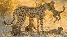 Cheetah cubs playing with their mother, in Botswana, by Klein & Hubert Animals And Pets, Baby Animals, Cute Animals, Lion Tigre, Big Cat Family, Happy Family, Photo Animaliere, Mom Show, Animals Beautiful
