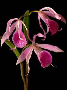 Orchid. Blc Morning Glory | Posted by: Emilio - Flickr.. | Photo by:  E-Infantes - Flickr..