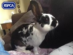 Pongo, Crossbreed rabbit, 1 Year, RSPCA Central and North East London Branch Pet Search, East London, Sadie, Rabbits, 1 Year, Adoption, Best Friends, Wildlife, Pets