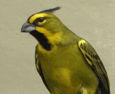 Cardeal-amarelo   Criadouro Onça Pintada