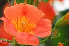 Orange Flower  by KenjirohTukiyama. Please Like http://fb.me/go4photos and Follow @go4fotos Thank You. :-)