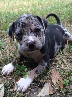 Mila blue merle pitbull - it's my little violet!