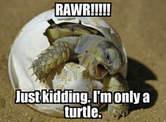 RAWR - Just kidding. I'm only a turtle. (I'm such a nerd for funny animals! Funny Animal Memes, Funny Animals, Cute Animals, Animal Humor, Animal Quotes, Hilarious Memes, Baby Animals, Animal Antics, Funny Humor
