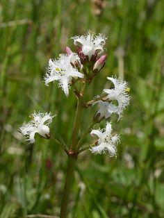 British wild flowers. Bogbean. Raate, sanasta sanaan käännettynä suopapu.