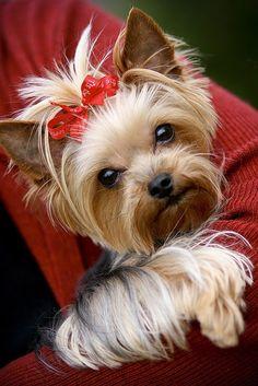 I love yorkies!! So cute.