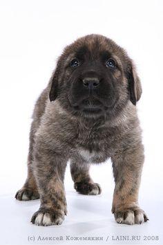 Spanish Mastiff.
