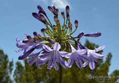 Lily of the Nile Agapanthus Africanus, Lily, Plants, Flower Beds, Calla Lilies, Orchids, Plant, Lilies, Planets