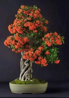 Bonsai Tree 盆栽 盆栽More Pins Like This At FOSTERGINGER @ Pinterest 盆栽