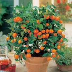 Laranjeira (Citrofortunella mitis), laranja Panamá. Árvore resistente. Plantada em vaso. É um Calamondin, ou seja, um híbrido intergenêtico entre um membro do gênero citrus (neste caso, provavelmente, a mandarina) e o kumquat pertencente à Fortunella. É usado principalmente como uma árvore ornamental, embora o fruto seja comestível.