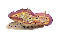A nudibranch sea slug, Chromodoris kuniei, from the Solomon Islands