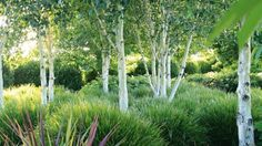 The birches, Betula jacquemontii, are underplanted with clumps of Lomandra 'Lime Tuff'. White Gardens, Small Gardens, Back Gardens, Outdoor Topiary, Topiary Garden, Tree Garden, White Birch Trees, Classic Garden, Woodland Garden