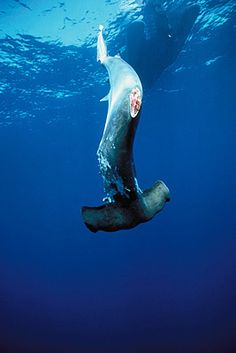 Please don't buy shark fin soup. Shark extinction would royally FK this earth.