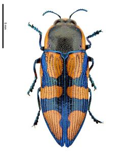 Castiarina argillacea - World of Animals Insect Wings, Insect Art, Beetle Insect, Beetle Bug, Amphibians, Reptiles, Beautiful Creatures, Animals Beautiful, Cool Bugs
