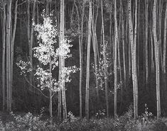 Aspens, Northern New Mexico (1958)