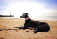 My beautiful black greyhound, relaxing on the beach. The collar she is wearing can be found here: www.collartown.etsy.com
