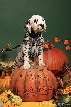 Photo about Black spotted female dalmatian puppy standing on a halloween pumpkin. Image of climb, puppy, dalmatian - 21305229 Cute Dog Costumes, Dog Halloween Costumes, Halloween Puppy, Happy Halloween, Puppies And Kitties, Corgi Puppies, Doggies, Dalmatian Dogs, Free Stock
