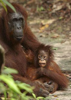 Baby Orangutan with adorable bedhead | Photo Credit: Peter Smart via Flickr