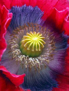 ~~Poppy by =George-kirk~~
