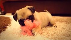 "Ellie ""what never seen a pug chew a pink fluffy defenceless thing"""