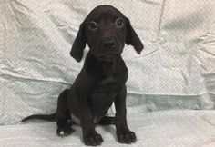 name: buck. breed: labrador retriever/beagle mix. located: champaign, illinois. age: 3 weeks old. adoption fee: $300. sex: male. He is a small dog waiting for the right family to adopt him!!!!!  Send application at http://www.DogsFromMars.net
