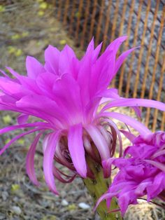 Easter Lily hybrid-Desert Botanical Garden
