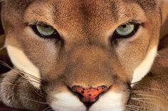 ~~ Cougar Face by Frans Lanting ~~