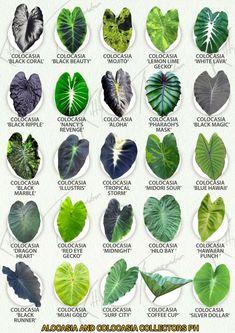 Tropical Garden Design, Tropical Plants, Cactus Plants, Garden Plants, Indoor Plants, House Plants, Leaf Identification, Alocasia Plant, Alpine Plants