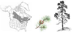 Figure 19. Le pin gris: aire de répartition en Amérique du Nord et formes de l'arbre Adapté dewww.candianbiodiversity.mcgill.ca (schéma de gauche), www.abtreegene.com (schéma du milieu), www.faculty.plattsburgh.edu (schéma de droite)..