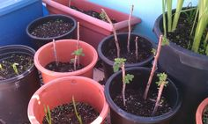 Propagating Raspberries: Can You Grow A Raspberry Plant From Cuttings