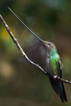 Sword-billed Hummingbird.