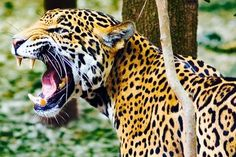 Here you can compare Jaguar vs Panther fight. Go further to know Panther vs Jaguar comparison, difference and similarity. Animal Jaguar, Jaguar Leopard, Angry Animals, Animals And Pets, Large Animals, Wild Animals, Jaguar Tier, Chat Lion, Jaguar Pictures