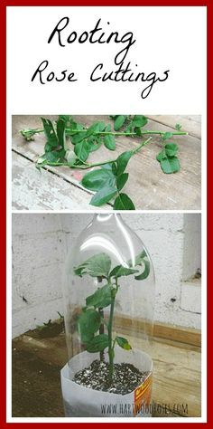 How To Root Rose Cuttings | DIY Saturday @ A Cultivated Nest