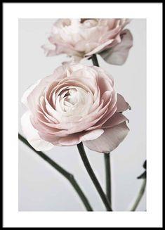 Pink ranunculus one Plakate Gruppenplakate / Fotos @ Desenio AB . - # Pink ranunculus one Plakate Gruppenplakate / Fotos @ Desenio AB . Wall Prints, Poster Prints, Art Posters, Flowers Wallpaper, Personalised Posters, Gold Poster, Light Pink Flowers, Online Posters, Colors
