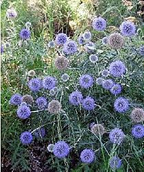 Echinops Blue Glow An improved selection with a more intense strong blue color and more compact habit. The deer have shown no interest in this plant. Excellent color choice for mid to late summer.
