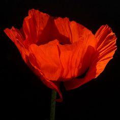 ... red  Opium Poppy, Papaver somniferum