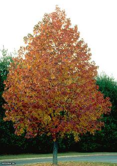 Fast-growing trees: Liquidambar styraciflua --> http://www.hgtvgardens.com/trees/fast-growing-trees?s=3&soc=pinterest