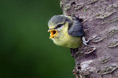 Modřinka Blue Tit, Little Birds, Animals, Feathers, Animales, Small Birds, Animaux, Animal, Animais