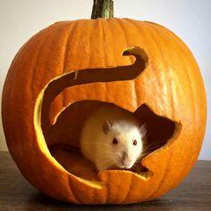 Rat Fan Club Rat Costume, Rat Care, Dumbo Rat, Pumkin Carving, Fancy Rat, Cute Rats, Pet Mice, Cute Pumpkin, Exotic Fish