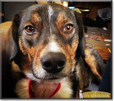 Read Li'l Sebastian's story the Beagle, German Shepherd from Virginia and see his photos at Dog of the Day http://DogoftheDay.com/archive/2015/April/06.html