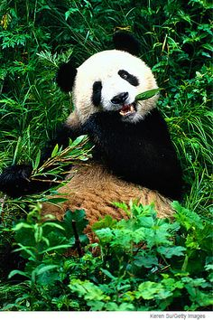 Giant Panda Habitat   ... forests high in the mountains of China are giant panda's habitat