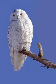 Snowy Owl (Bubo scandiacus). Photo by Rachel Bilodeau.
