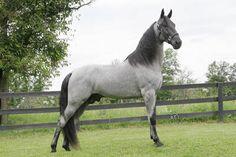 Big blue Roan Tennessee Walking Horse