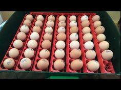 74# Comment faire naître et élever des poussins : de l'œuf jusqu'à la poule ! - YouTube Eggs, Baby Chicks, How To Make, Egg