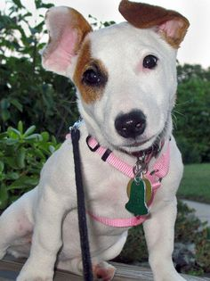 Pearl the Jack Russell Terrier