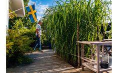 """Elefantgräset ger tillsammans med bergsbambun en exotisk touch åt uteplatsen. I slutet av växtsäsongen når elefantgräset tre meters höjd. """"Vi köpte det i Danmark för många år sedan. Då var det bara en liten pinne men det har tagit sig bra, trots att de inte trodde på plantskolan att det skulle klara sig på svenska Västkusten. Jag packar in det ordentligt med löv inför vintern"""" säger Pernilla."""