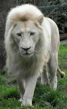 Big cats are so majestic and beautiful. I would like to help rescues and foundations that protect rare species of big cats. Beautiful Cats, Animals Beautiful, Unique Animals, Beautiful Pictures, Cute Baby Animals, Animals And Pets, Funny Animals, Wild Animals, Cutest Animals