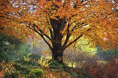 Autumn Glory Of Beech Tree by Jenny Rainbow                                                                                                                                                                                 More