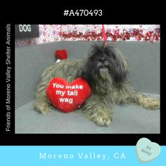 HELP SHELTHER FULL!* ★BECOMES URGENT & AT RISK AFTER FEB 15TH★  OZZY #A470493 (Moreno Valley, CA) Male, gray and black Lhasa Apso mix. The shelter thinks I am about 2 years