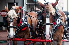 Horses  Carriage Ride in Savannah, GA