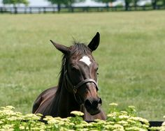 """Vertigineux an American Thoroughbred mare racehorse. She is out of the stakes-winning Forlì mare For The Flag, by the outstanding sire Kris S. Her name means """"breathtaking"""" or """"dazzling"""" (speed) in French. Dam of Eblouissante and Zenyatta."""